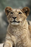 Barbary lion Stock Photo