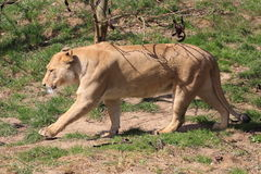 Barbary lion Royalty Free Stock Images