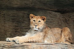 Barbary lion Royalty Free Stock Photography