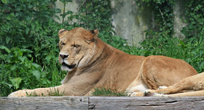Barbary lion 4 Royalty Free Stock Photos