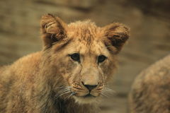 Barbary lion juvenile Stock Photo