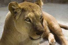Barbary Lion -liones Royalty Free Stock Photos
