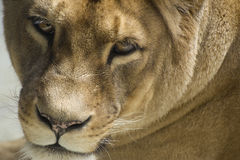 Barbary Lion - liones Stock Photo