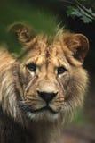 Barbary lion (Panthera leo leo), also known as the Atlas lion. Stock Photos