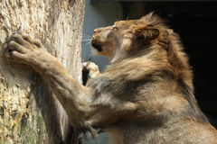 Barbary lion (Panthera leo leo), also known as the Atlas lion. Royalty Free Stock Photos