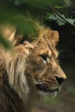 Barbary lion (Panthera leo leo), also known as the Atlas lion. Stock Images