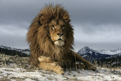 Barbary lion, Panthera leo leo Royalty Free Stock Images