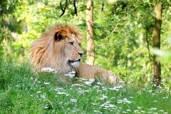 Barbary lion (Panthera leo leo) resting Royalty Free Stock Images
