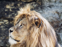 Barbary lion portrait (Panthera leo leo), critically endangered Royalty Free Stock Image