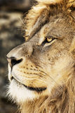 Barbary lion portrait (Panthera leo leo), endangered animal spec Stock Photography