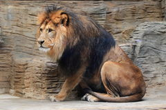 Barbary lion Royalty Free Stock Image
