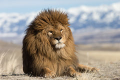 Barbary Lion on windswept hill Royalty Free Stock Photos