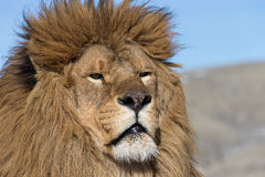 Barbary Lion on windswept hill Stock Photo