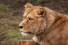 Barbary lioness Royalty Free Stock Photos