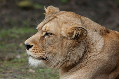 Barbary lioness Royalty Free Stock Photography