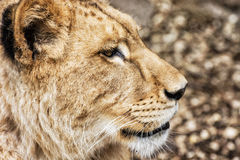 Barbary lioness portrait - Panthera leo leo, side view Royalty Free Stock Photos