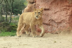 Barbary lioness Stock Photography
