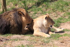Barbary lions Stock Photos