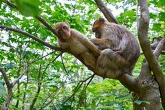 Barbary małp macaca sylvanus makaka małpa obrazy stock