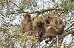 Barbary małpy siedzi w drzewie przygotowywa z dzieckiem Zdjęcia Stock