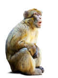 Barbary macaque över vit bakgrund Royaltyfri Foto
