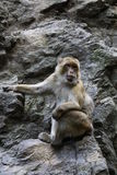 barbary macaque Royaltyfri Bild