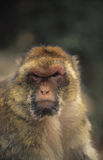 Barbary Macaque. The Barbary Macaque is one of the best known old world monkeys. It lives on Gibraltar, as well as the Maroccan / Algerian Atlas mountains Stock Photo