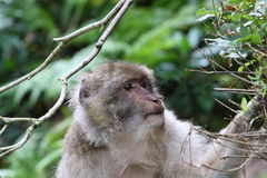 Barbary macaque. A Barbary macaque looking for food in the bushes Royalty Free Stock Image
