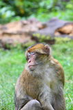 Barbary macaque. A Barbary macaque sitting on the grass Royalty Free Stock Images