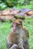 barbary macaque Royaltyfria Bilder