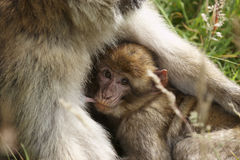 Barbary Macaque Royalty Free Stock Photography