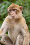 Barbary Macaque. Portrait of a Barbary Macaque monkey Royalty Free Stock Images