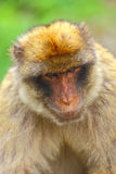 The Barbary macaque Royalty Free Stock Photography