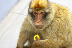 The Barbary macaque Royalty Free Stock Photos