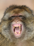 Barbary macaque. Portrait of a barbary macaque Royalty Free Stock Photography