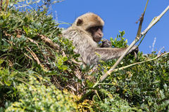 Barbary macaque Royaltyfri Foto