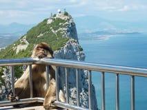 Barbary macaque Arkivfoto