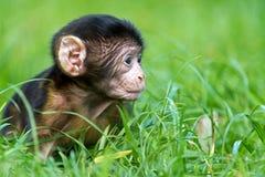 Barbary macaque royaltyfri foto