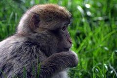 Barbary macaque Royaltyfri Bild