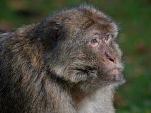 Barbary macaque Arkivbild