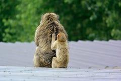 Barbary macaque Royaltyfri Fotografi
