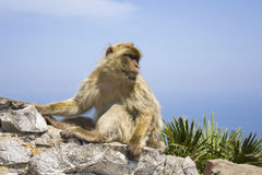 Barbary Macaque. A Barbary Macacque sitting on a wall under a blue sky in Gibraltar Royalty Free Stock Photo