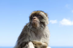Barbary Macaque against blue sky. On the rock of Gibraltar Stock Images
