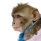 Barbary Macaque against white background Royalty Free Stock Photo