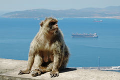 Barbary Macaque or Ape, Gibraltar Stock Image