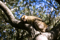 Barbary macaque asleep. In Gibraltar, the only place in Europe to live in freedom Stock Photo