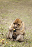 Barbary Macaque with baby. Stock Photo