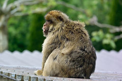 Barbary macaque. With baby monkey Stock Photo