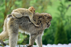 Barbary macaque. With baby monkey Stock Photography