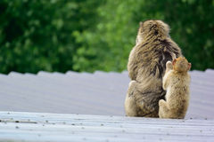 Barbary macaque. With baby monkey Royalty Free Stock Photo